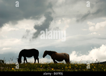 Wild horses in mountain meadows, Gran Sasso, Abruzzi, Italy, Europe Stock Photo