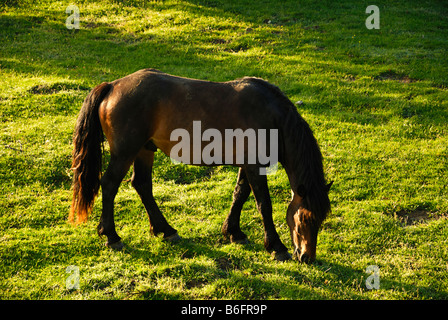 Wild horse in a mountain meadow, Gran Sasso, Abruzzi, Italy, Europe Stock Photo