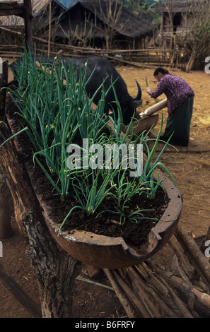 Vietnam-era cluster bomb casing used as onion planter in Hmong village, Plain of Jars, Xieng Khuang Province, Laos - Stock Photo
