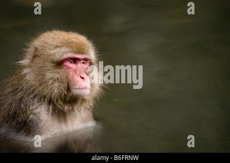 Japanese Macaque snow monkey at Jigokudani Monkey Park Nagano Japan - Stock Photo