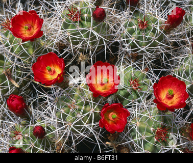 CALIFORNIA -  Mojave Mound cactus, Echinocereus triglochidiatusat, the Cholla Cactus Garden in Joshua Tree National - Stock Photo