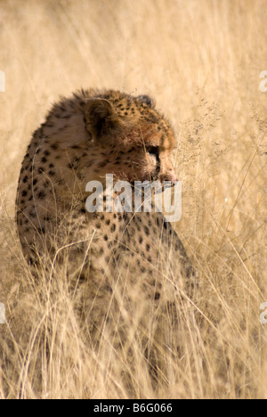 A Cheetah, Acinonyx jubatus, sits in the bush and is camouflaged by the grass. Namibia. - Stock Photo