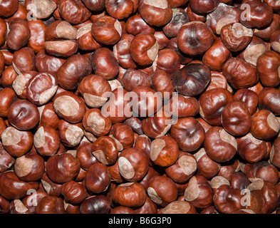 Horse chestnut Aesculus hippocastanum conkers - Stock Photo