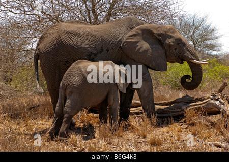 wildlife wild  Elefant elephant loxodonta africana KRUGER NP south-Afrika young baby cub infant suckle suckling - Stock Photo