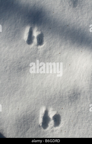 Eastern Cottontail Rabbit Tracks in snow Eastern North America - Stock Photo