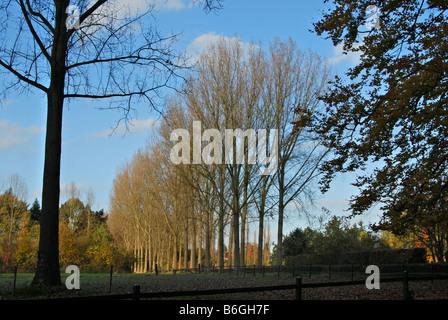 poplar trees in autumn - Stock Photo