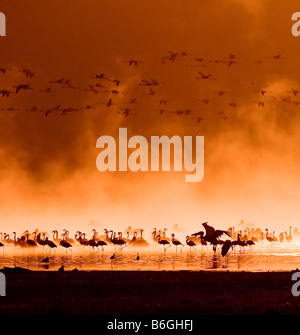 flocks of flamingos in the sunrise lake nakuru kenya - Stock Photo
