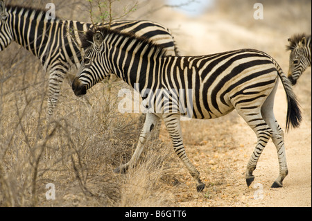 wild zebras equus, burchelli south-Afrika desert south africa crossing road way tele photo family group stripe stripes - Stock Photo