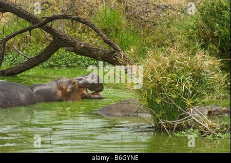 wildlife wild Hippo HIPPOPOTAMUS amphibious in water waterhole south-Afrika south africa bath bathing green panorama - Stock Photo