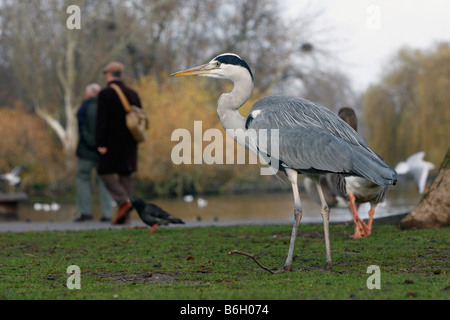 Grey heron Ardea cinerea Regents Park London winter - Stock Photo