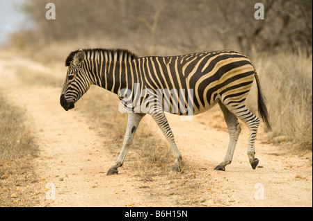 1 one wild zebras equus, burchelli south-Afrika desert south africa crossing road way tele photo family group stripe - Stock Photo