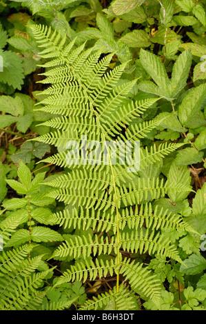 Lady fern, athyrium filix-femina - Stock Photo