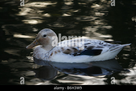 Very beautiful white duck photographed at Martin Mere Wildfowl and Wetland Trust in Lancashire, cross breed. - Stock Photo