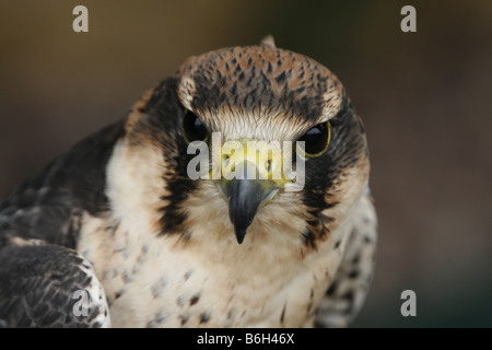 Portrait of a Lanner Falcon (Falco Biarmicus). - Stock Photo