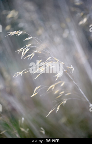 Windswept Stipa Gigantea - Stock Photo