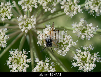 Vespula rufa on Angelica sylvestris - Stock Photo