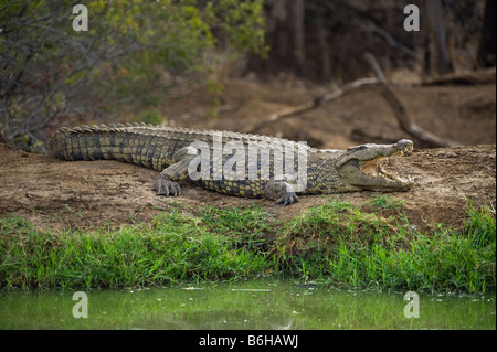 Nile Crocodile crocodylus niloticus lying sleeping sleep out of water waterhole south-Afrika south africa big fat - Stock Photo