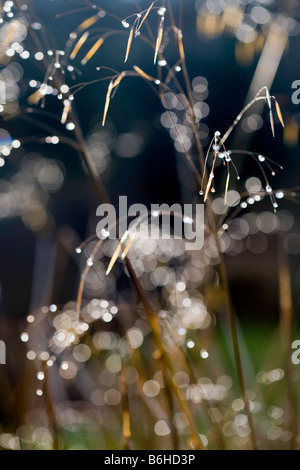 Stipa Gigantea 'Gold Fontaene' in low winter sun - Stock Photo