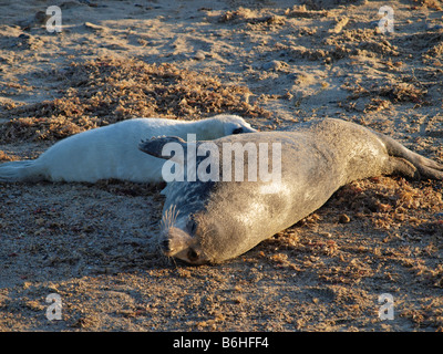 GREY SEAL PUP FEEDING FROM MOTHER  ON THE SANDY BEACH AT WAXHAM NORFOLK ENGLAND UK - Stock Photo
