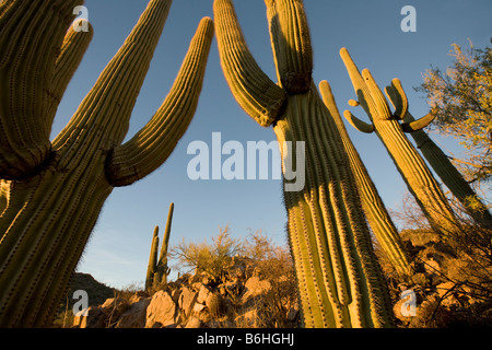 Giant Saguaros Saguaro National Park West Tucson Arizona - Stock Photo