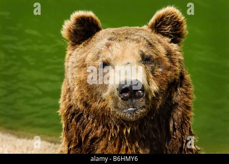 close up of a big brown bear - Stock Photo