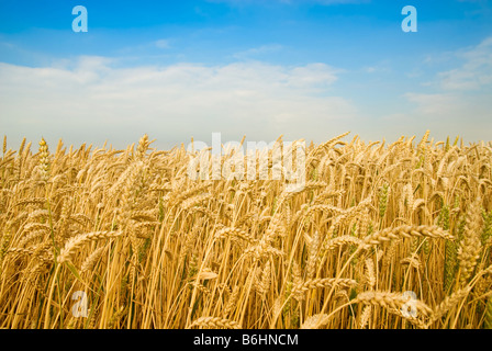 Golden wheat field under a blue sky - Stock Photo