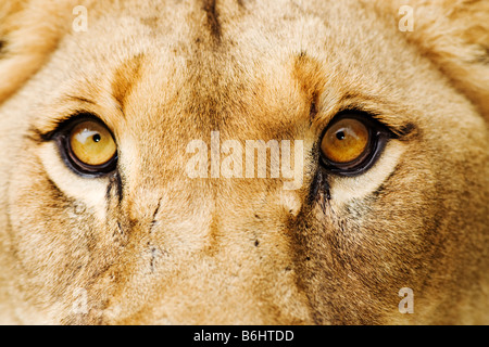 Lion Panthera leo Close up of a lioness Dist Sub Saharan Africa - Stock Photo