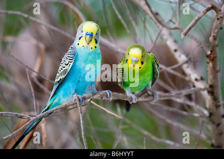 Budgerigars perching on a tree branch on Thulhagiri Island in The Maldives - Stock Photo