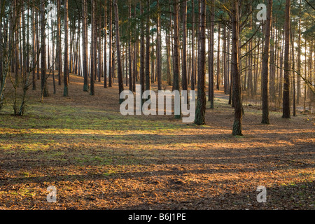 Pine forest, Frensham Common, Surrey, UK - Stock Photo