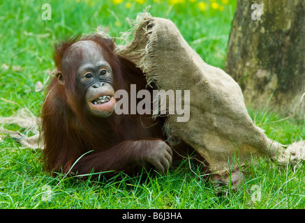 cute baby orangutan playing on the grass - Stock Photo
