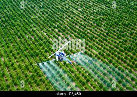 Low flying helicopter sprays chemical pesticide over tree farm forest. - Stock Photo