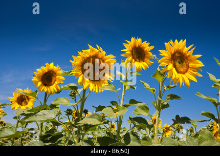 Sunflowers against a blue sky in southwest France Europe - Stock Photo