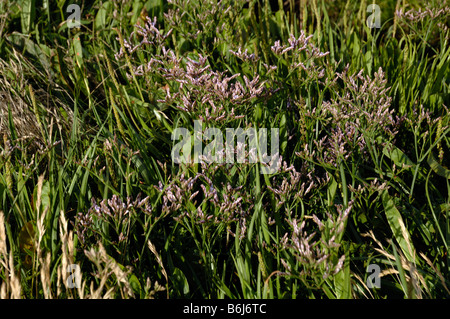 Common sea lavender Limonium vulgare saltmarsh Goldcliff Gwent Levels Newport Wales UK Europe - Stock Photo