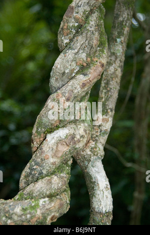 Rainforest strangler fig , Queensland , Australia - Stock Photo
