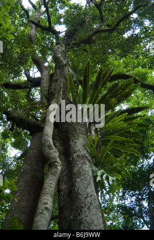 Rainforest trees at Cunninghams Gap, Queensland, Australia - Stock Photo