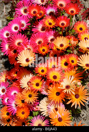 Bright Mesembryanthemum Livingstone Daisy In Full Sun Growing In A
