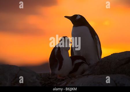A gentoo penguin adult and chick are silhouetted at sunset on Petermann Island in the Antarctic Peninsula - Stock Photo