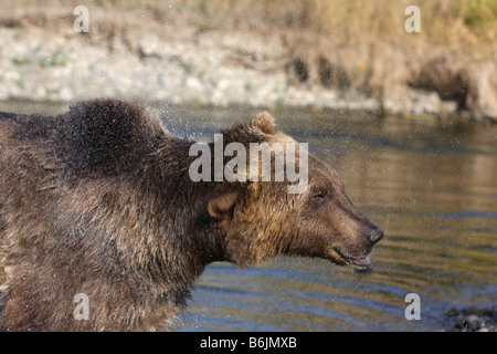 Grizzly bear, Ursus arctos, shaking off water after swimming in river - Stock Photo