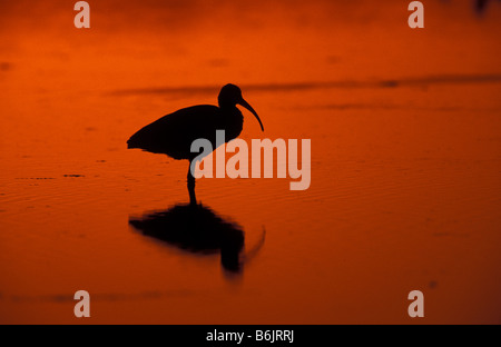 Sanibel Island, FL A White Ibis, Eudocimus albus, silhouetted at sunset, at Ding Darling National Wildlife Refuge. - Stock Photo