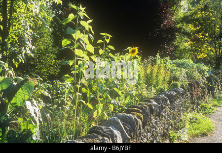 Detail of country lane and garden with drystone wall and backlit Sunflowers Golden rod and Laburnum and Flowering - Stock Photo