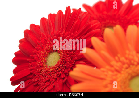 Three gerberas on a white background close up shot - Stock Photo