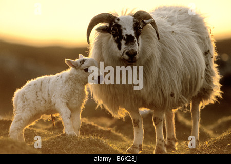 Domestic Sheep (Ovis ammon aries), ewe with new born lamb backlit in evening light - Stock Photo