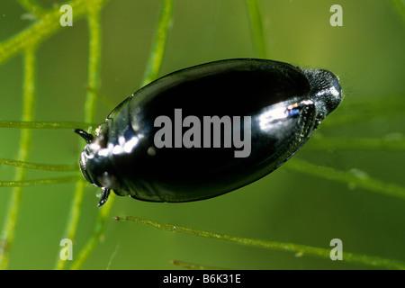 Whirligig Beetle (Gyrinus sp.) swimming under water - Stock Photo