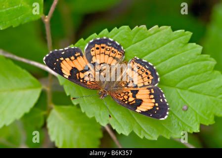 Silvery Checkerspot Chlosyne nycteis - Stock Photo