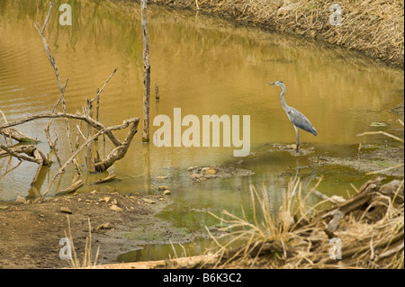 wildlife wild  GREY HERON Ardea cinerea sitting at water edge waterhole south-Afrika south africa watch watching - Stock Photo