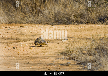 wild wildlife Leopard tortoise GEOCHELONE PARDALIS reptile turtle land tortuga species endemic animal old big heavy - Stock Photo