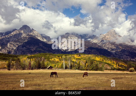 Horses near Manges Cabin and Cottonwood Creek, Teton Mountains, Grand Teton National Park, Wyoming, USA. - Stock Photo
