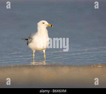 A Ring-billed Gull stands on the beach at Fort DeSoto Park, Florida. - Stock Photo