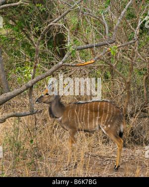 young greater KUDU antelope TRAGELAPHUS STREPSICEROS  female walking along south-Afrika south africa mammal afrika - Stock Photo