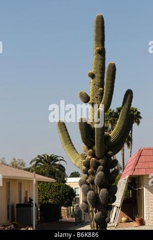 Old saguaro cactus with many budding arms - Stock Photo